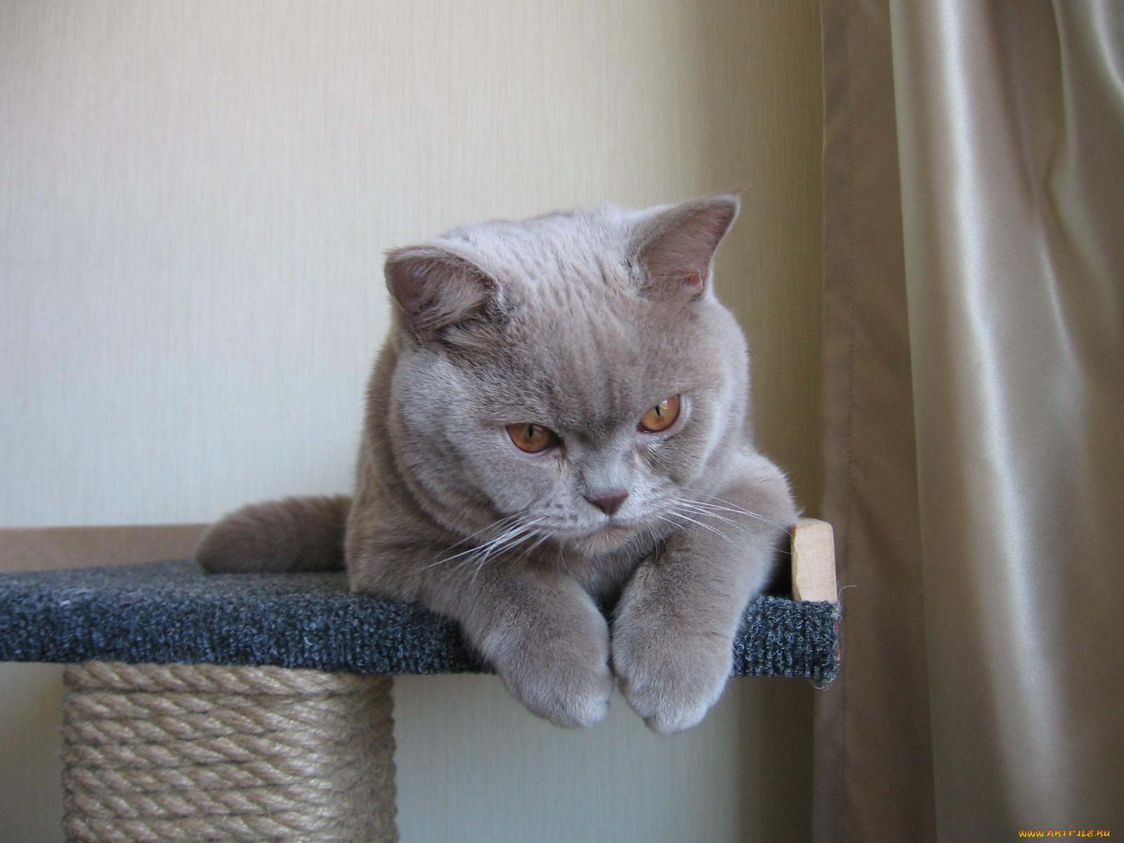 должна смешные коты британцы картинки нашей